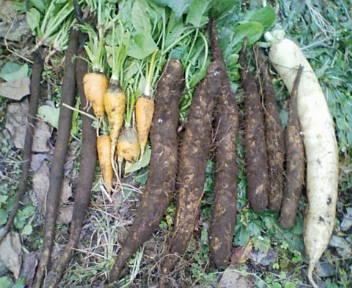 20081115153933冬野菜