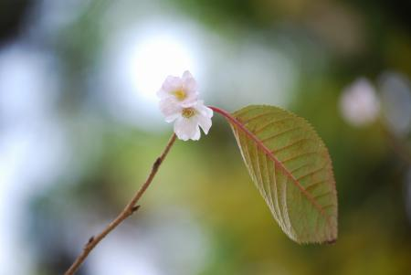 5555十月桜