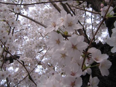 6638桜