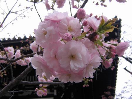 6667八重桜