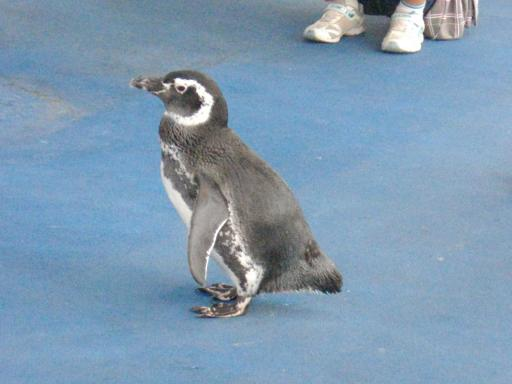 散歩するペンギン