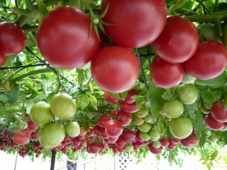 えこりん村トマト