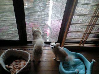 090915猫見て吠えるプリ・ベリ