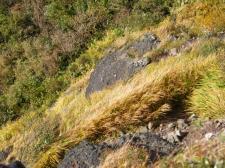 小麦色に色づく草