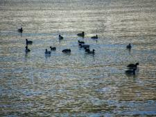 河口湖に浮かぶカモの群れ