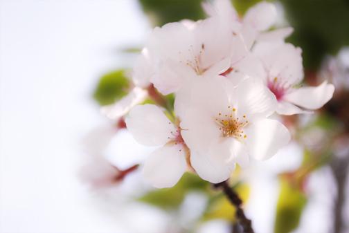 ブログ桜のコピー