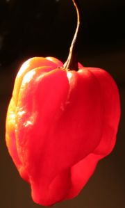 180px-Scotch-bonnet.jpg