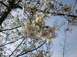 お台場の桜