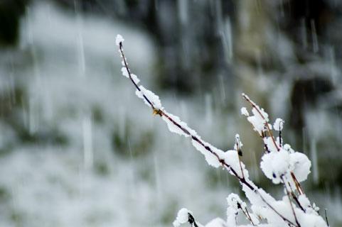 枯れ木と雪