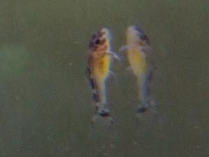 プレコ稚魚