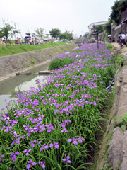 高瀬裏川花しょうぶまつり。