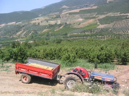 トルコ桃畑1