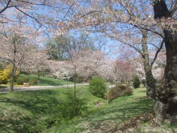 桜のアーケード