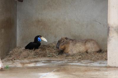 カピバラと鳥