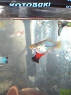 上層魚とたわむれるちびコリ