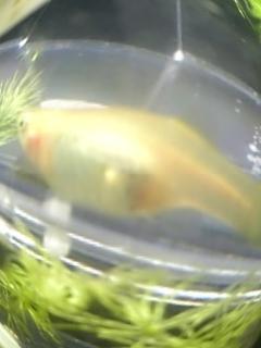 魚眼レンズグッピー