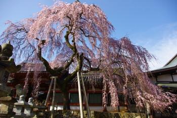 氷室桜_1