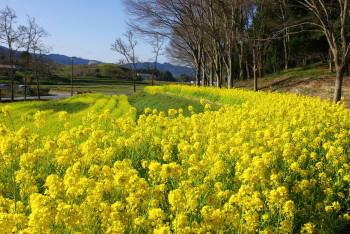 菜の花畑_1