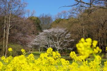 甘樫桜2_1