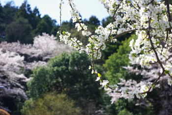 桃の花と桜_1