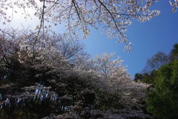豊浦桜_1