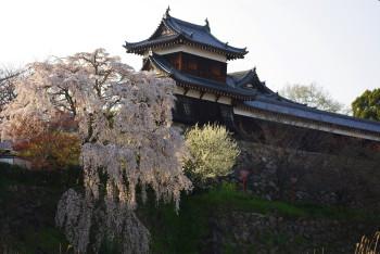 枝垂桜_1