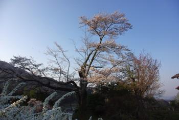 寿幸桜2_1