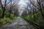 桜並木_1