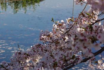 散りゆく桜_1