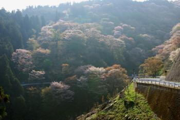 吉野山2_1