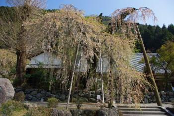 宝蔵寺の枝垂れ桜_1