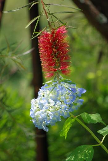 ブラシノキと紫陽花2_1