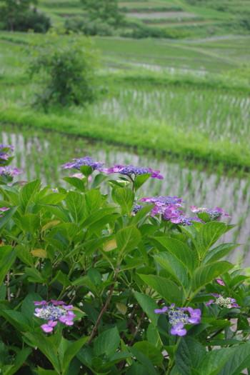紫陽花5_1