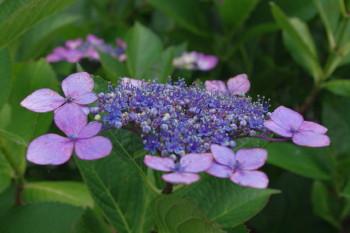 紫陽花2_1