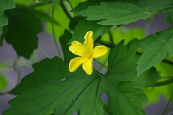 胡瓜の花_1