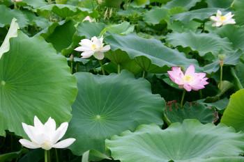 蓮の花_1