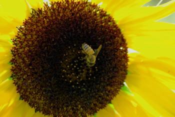 ミツバチ_1