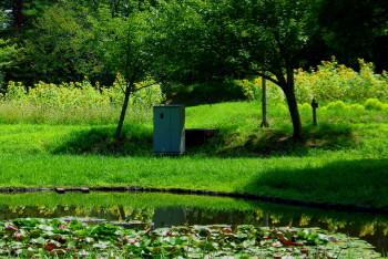 蓮池とひまわり_1