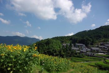 ひまわり畑6_1