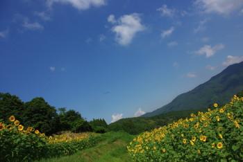 ひまわり畑5_1