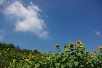 ひまわり畑_1