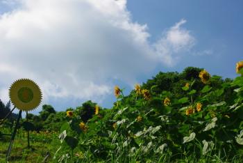 ひまわり畑9_1