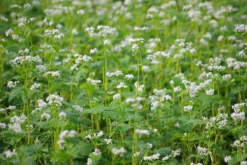 蕎麦の花_1