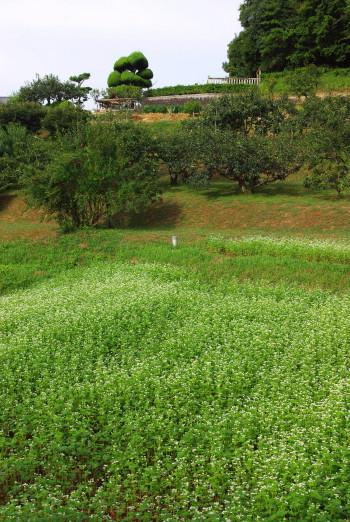 蕎麦畑_1