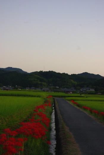 夕時の田圃_1