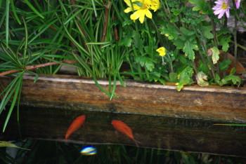 金魚2_1