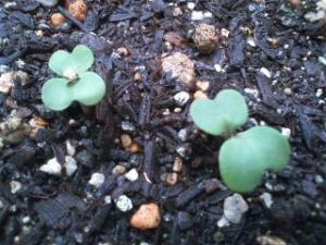 茎ブロッコリー芽