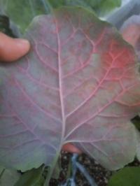 茎ブロッコリー葉