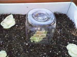 再生野菜植え付け