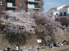 今年最後の桜